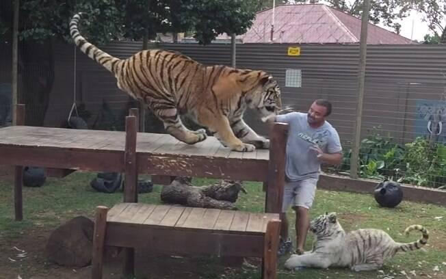 O homem estava dentro do recinto alimentando os tigres.