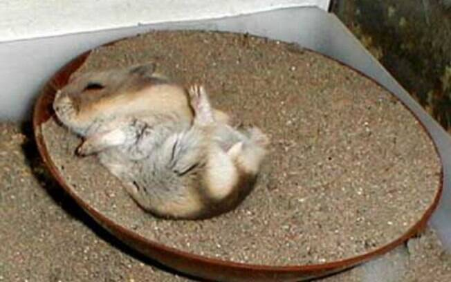 O banho de areia é umas das melhores opções para limpar o hamster