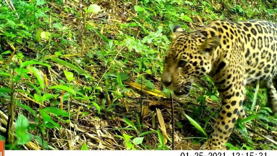 A cena é rara e indica que o habitat desses animais está se recompondo