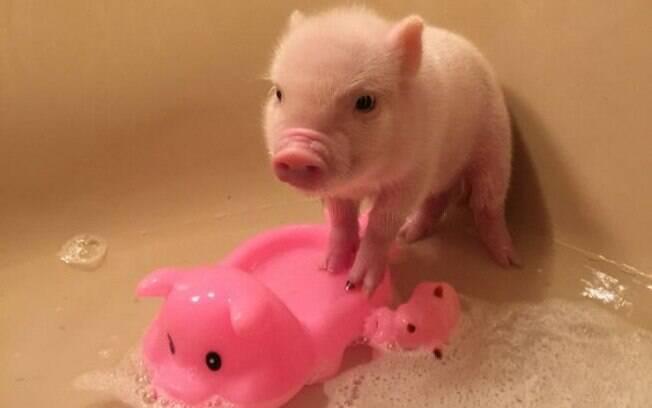 Os mini pigs costumam ser meigos, inteligente, sociáveis e companheiros