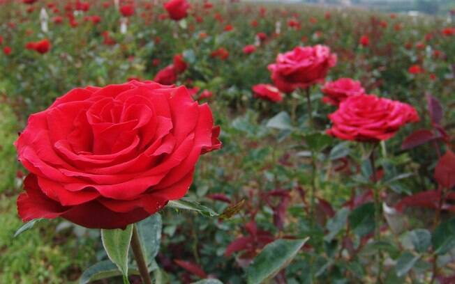 As rosas, especialmente as variações em tons de vermelho serão o ponto alto da Expoflora 2011