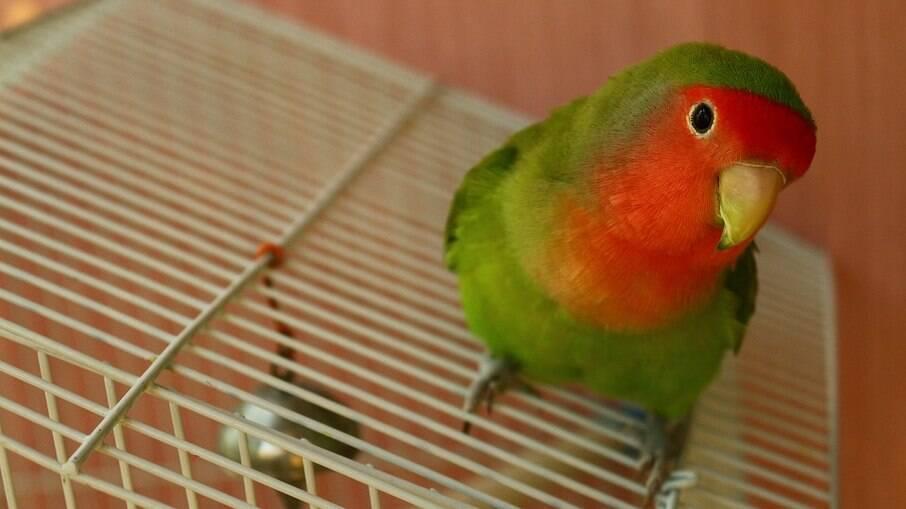 Agapornis é um género de aves Psitaciformes que possui nove espécies