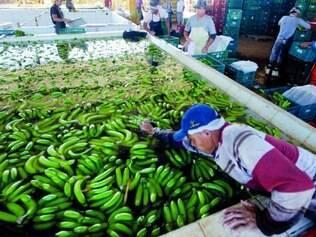 Relevância. Metade da banana produzida em Minas Gerais vem do Projeto Jaíba, na região Norte