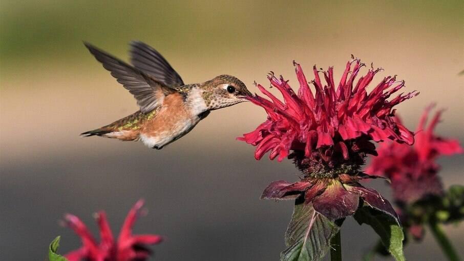 Flores ricas em néctar atraem os beija-flores