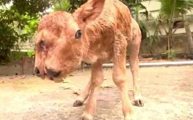 Vaca nasceu com anomalia surpreendeu fazendeiros locais