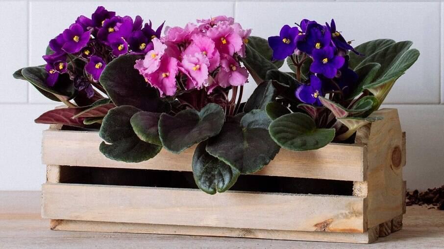 Violetas Plantadas em Base de Madeira Rústica
