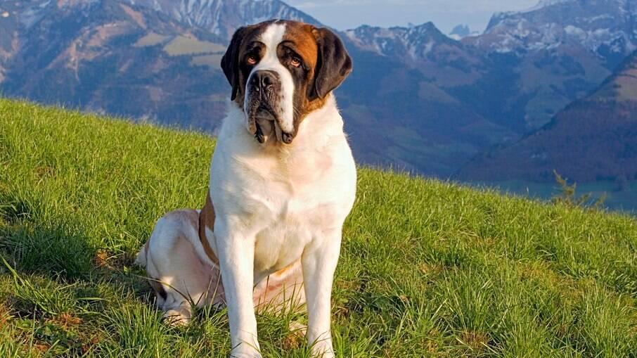 São Bernardo é um cachorro de personalidade calma
