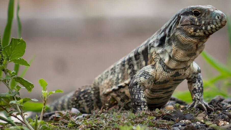 O lagarto Tegu está entre as 16 espécies que precisarão ser identificadas com microchips