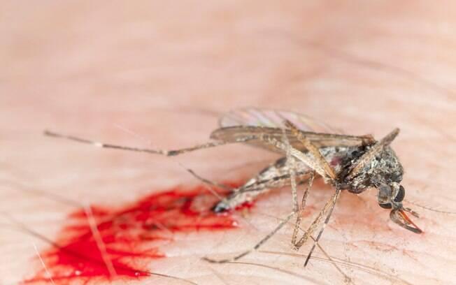 Mosquito Aedes aegypti é responsável por transmitir a dengue, zika vírus e chikungunya