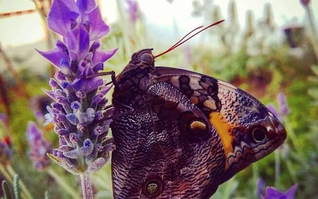 A flor de lavanda atrai lindas borboletas