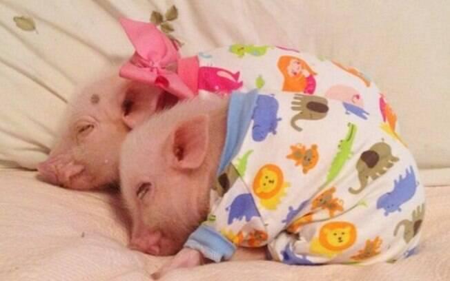 O porco também demanda alguns cuidados