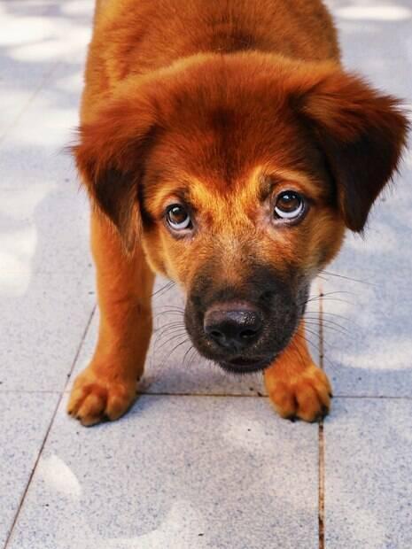 Entenda os motivos por trás da cara de culpado do seu cãozinho