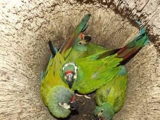 Filhotes de ararinha-maracanã