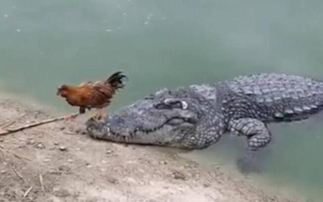 Galo escapa por pouco de ataque de crocodilo