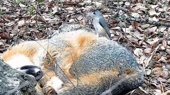 Passarinho é flagrado roubando pelos de raposa que dormia