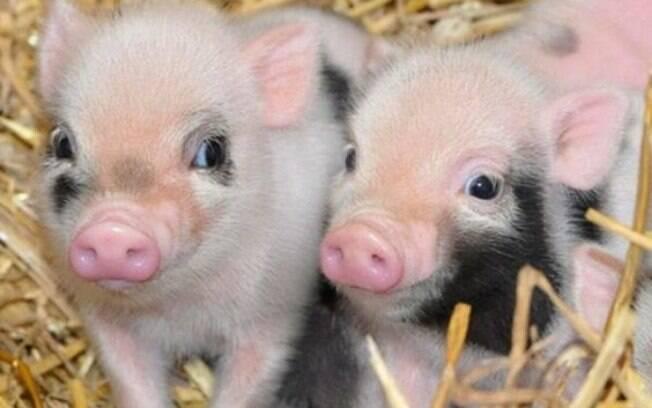 Como qualquer outro animal, o mini pig precisa ser vacinado e vermifugado