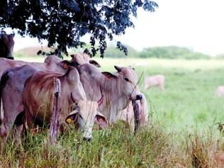 Risco. Doença só é fatal em casos agudos, mas gado doente perde peso e diminui produção de leite