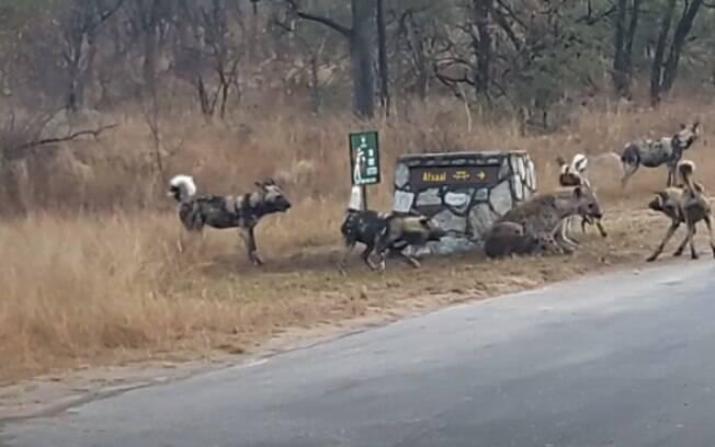 Hiena enfrenta cães selvagens em parque florestal