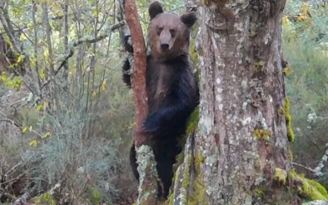 Urso Pardo foi visto em Parque Nacional da Espanha