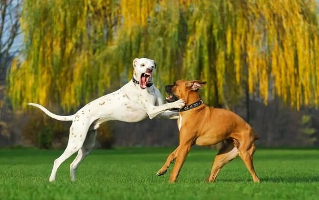 Um dos motivos mais comuns quando o assunto é briga entre cadelas, sobretudo entre bichos do mesmo sexo, são disputas pela liderança da matilha