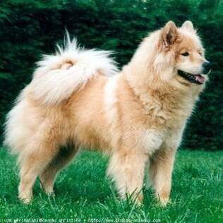 Cão Da Eurásia Saiba Mais No Guia De Bichos Canal Do Pet