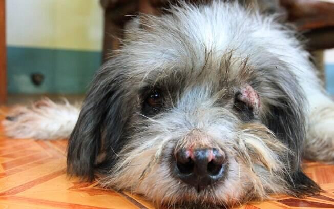Cachorro com dermatite canina