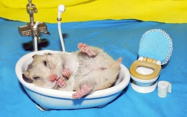 O hamster é um animal naturalmente limpo, como os gatos