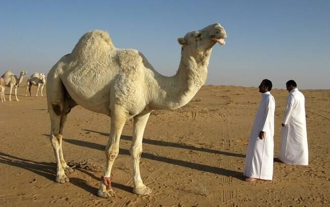 Camelos são importantes para produção de leite e de carne, além da locomoção, em países como a Arábia Saudita e o Catar