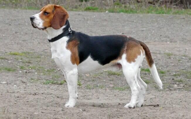 Os beagles são considerados cachorros de caça