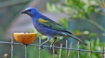 Veja como dar remédio ao seu pássaro de maneira adequada