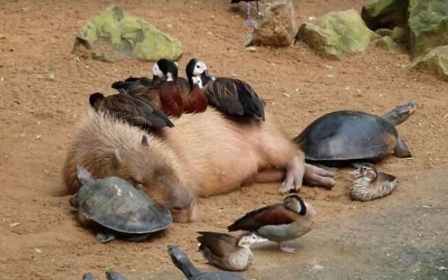 Uma capivara fazendo uma social de fim de semana com patos e tartarugas.