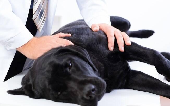 Se detectar alguns desses sintomas, não hesite em levar o animal ao veterinário. Quanto mais cedo a cistite em cães for detectada, mais simples será o tratamento