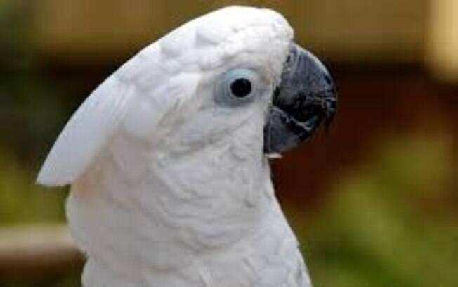 A cacatua é uma das aves que é possível ter em casa