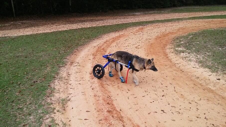 As cadeiras também ajudam animais que não conseguem se sustentar em pé sozinhos por muito tempo