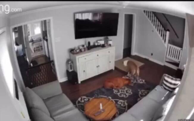Câmera flagra momento fofo em que um cão leva sua cama para irmão doente; veja