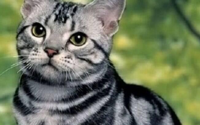 Um dos gatos mais bonitos do mundo, o Americano de pelo curto tem sua beleza nas listras do pelo