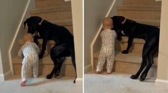 Cão-babá evita que bebê se machuque na escada de casa