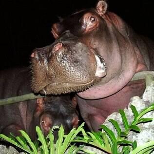 Tetéia, uma das mais antigas moradoras do zoo São Paulo, morreu nesta sexta