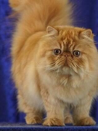 O gato persa é uma das raças mais conhecidas