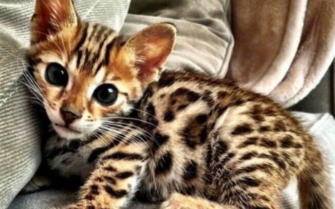 O pelo do Gato de Bengala, considerado um dos gatos mais bonitos do mundo, se assemelha ao dos felinos selvagens