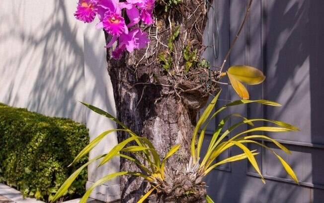 As árvores podem receber mais de uma espécie de orquídea em seus troncos sem qualquer tipo de dano. Foto: Edu Cesar/Fotoarena