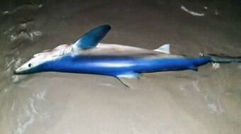 Tubarão-azul é encontrado morto com 80 filhotes no litoral de SP