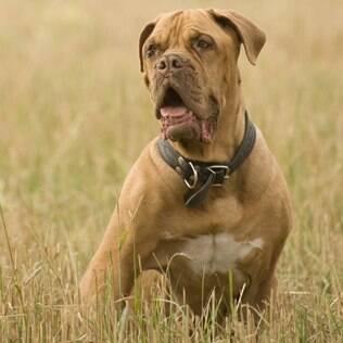 Dogue de Bordeaux - undefined