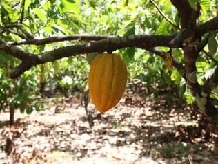 O Estado do Pará é o segundo maior produtor de cacau do Brasil, atrás apenas da Bahia