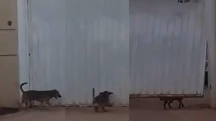 Cachorro abre portão para entrar em casa