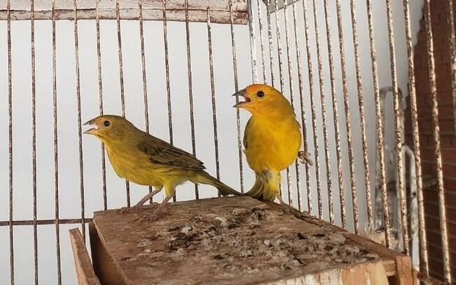 Aves eram mantidas presas em gaiolas dentro de residências.