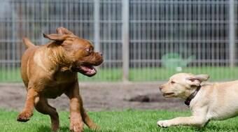 Por que os cachorros pequenos são mais agressivos?