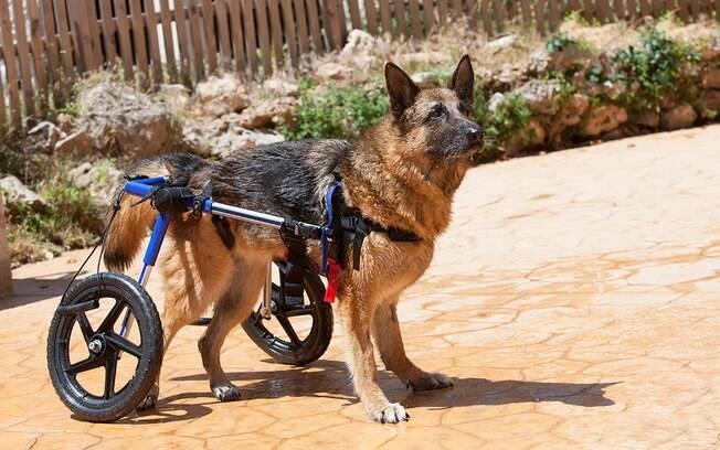 A cadeira de rodas para cachorros precisa ser feita sob medida