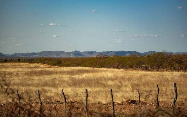 Babugem, capim dourado que além de encantar o cenário da Caatinga, serve de sustento para os rebanhos locais