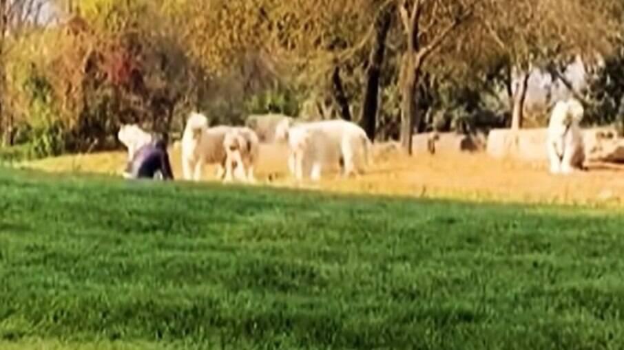 Homem enfrenta tigres brancos em parque da China